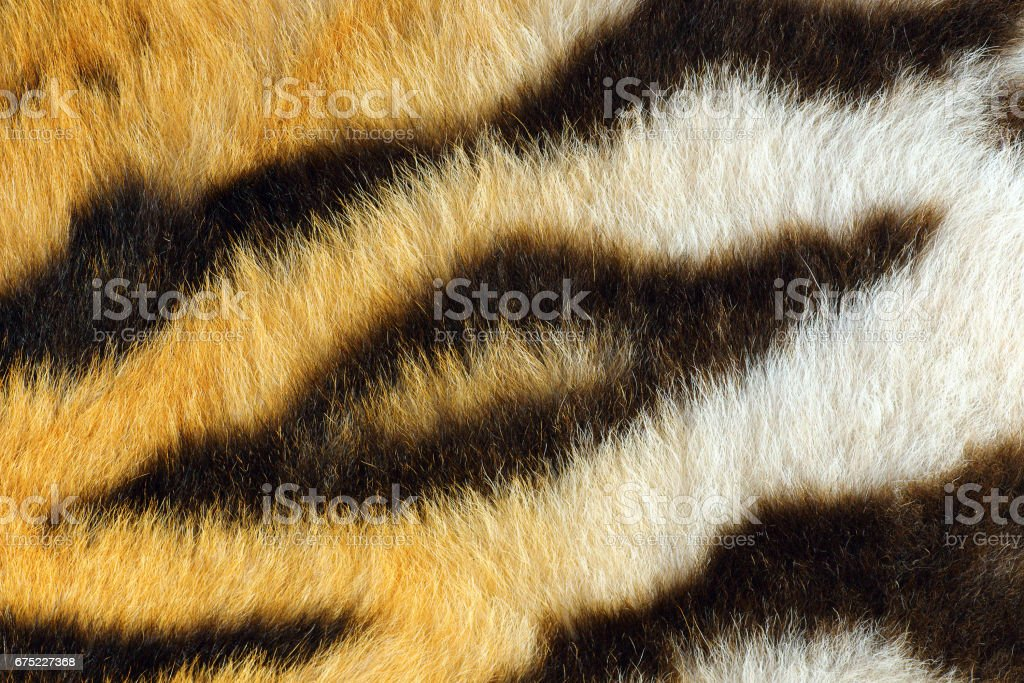 detail of beautiful black stripes on tiger pelt stock photo