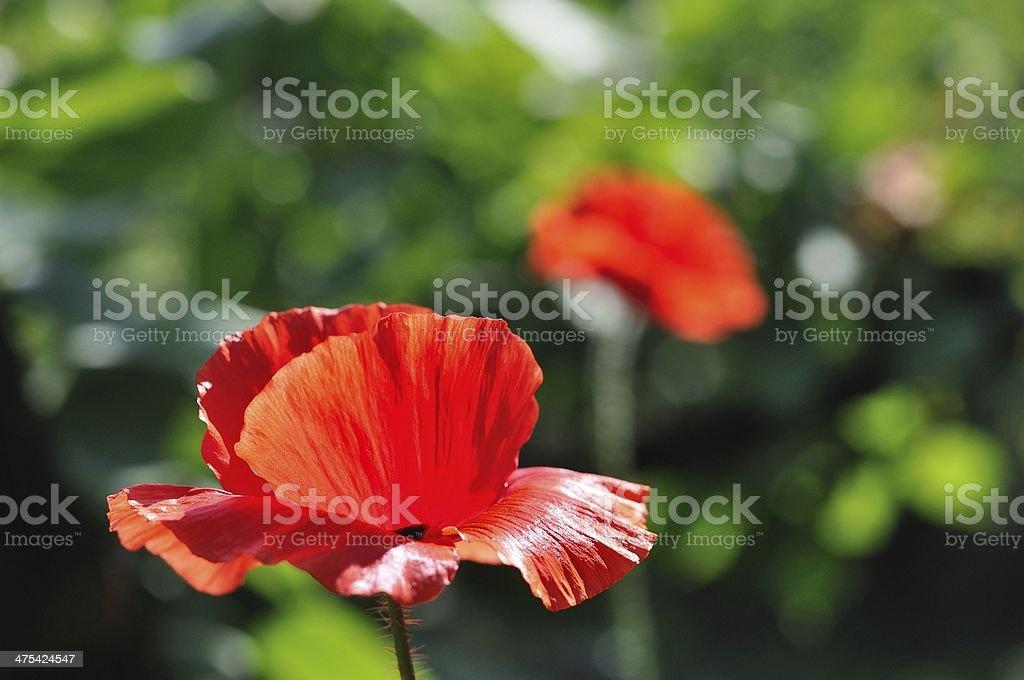 Szczegół piękne czerwony Mak zbiór zdjęć royalty-free