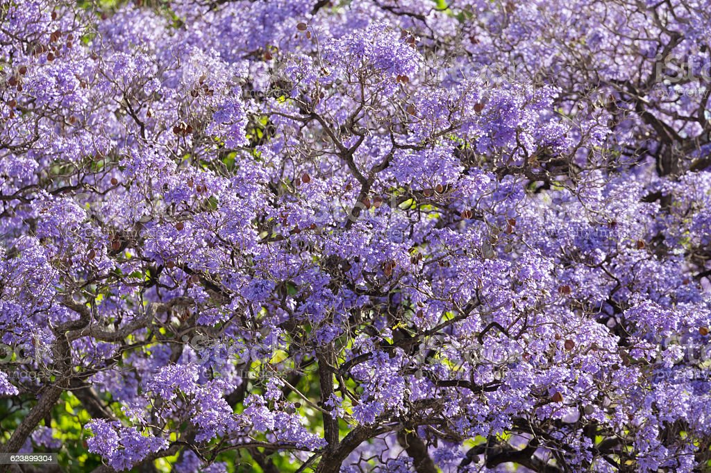 Detail of blue jacaranda tree with flowers in spring stock photo