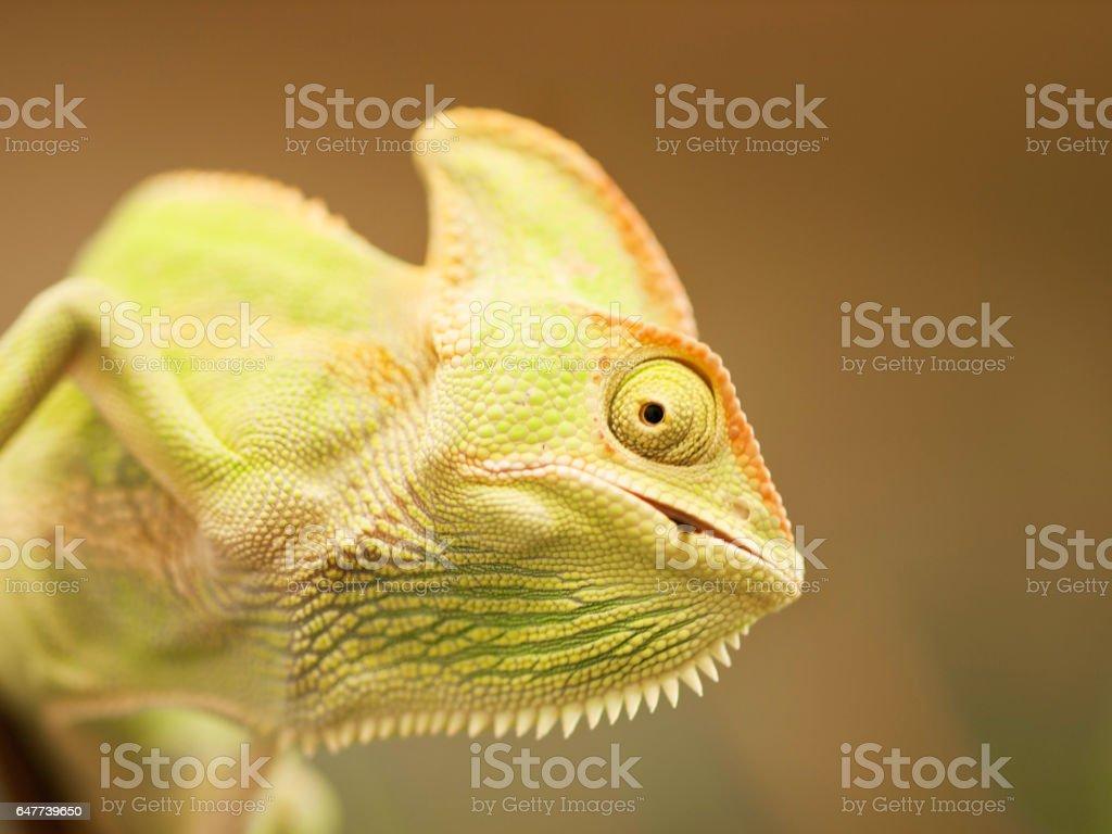 Detail of Cone-head chameleon  eating beetle - Chameleo calyptratus stock photo