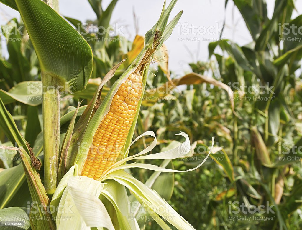 Detail of corn on the stalk in the middle of the plantation stock photo