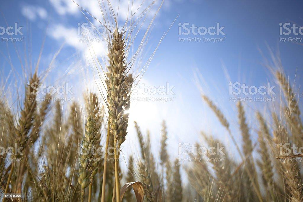 detail of cornfield royalty-free stock photo