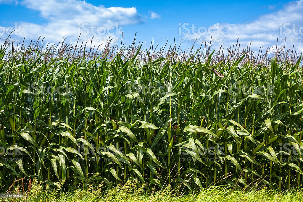 Detail of cornfield plantation. stock photo