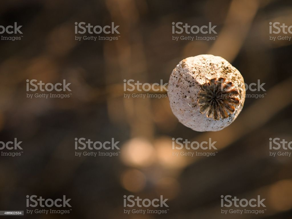 Detail of cultivated poppy head  in field, evening light stock photo