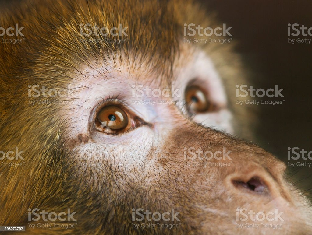 Detail of face of  Barbary macaque -  Macaca sylvanus stock photo