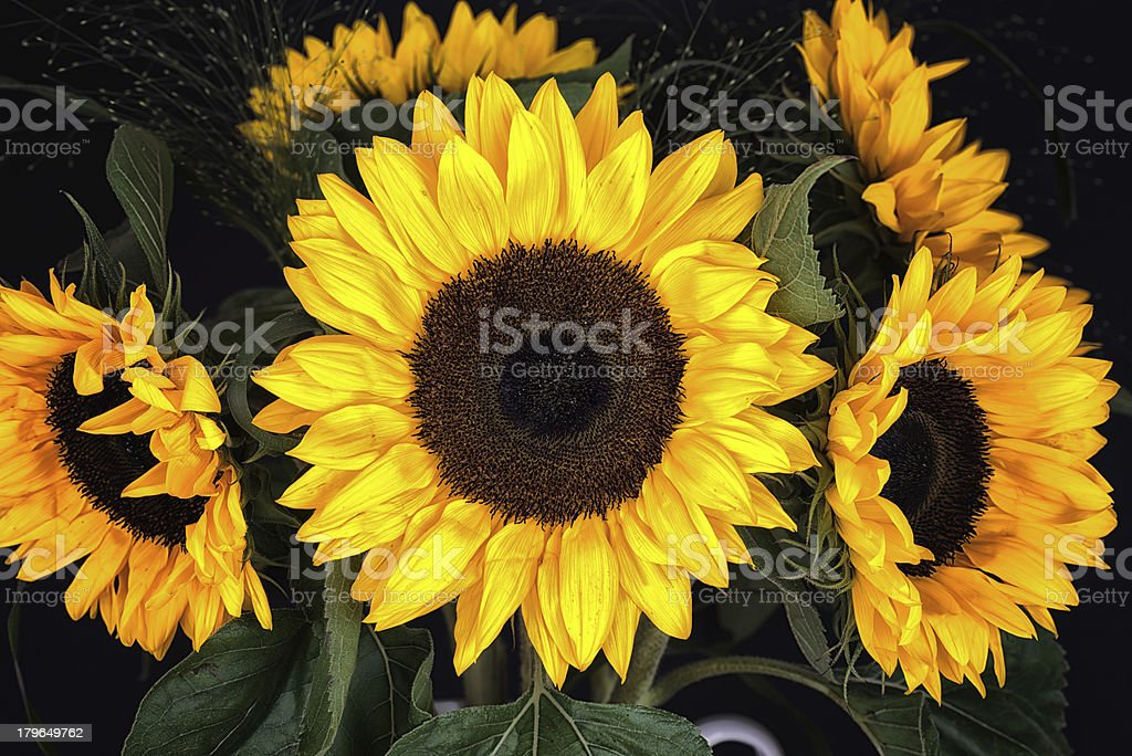 Detail of five sunflower heads on black background royalty-free stock photo