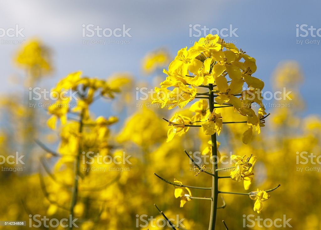 detail of flowering rapeseed - Brassica Napus stock photo