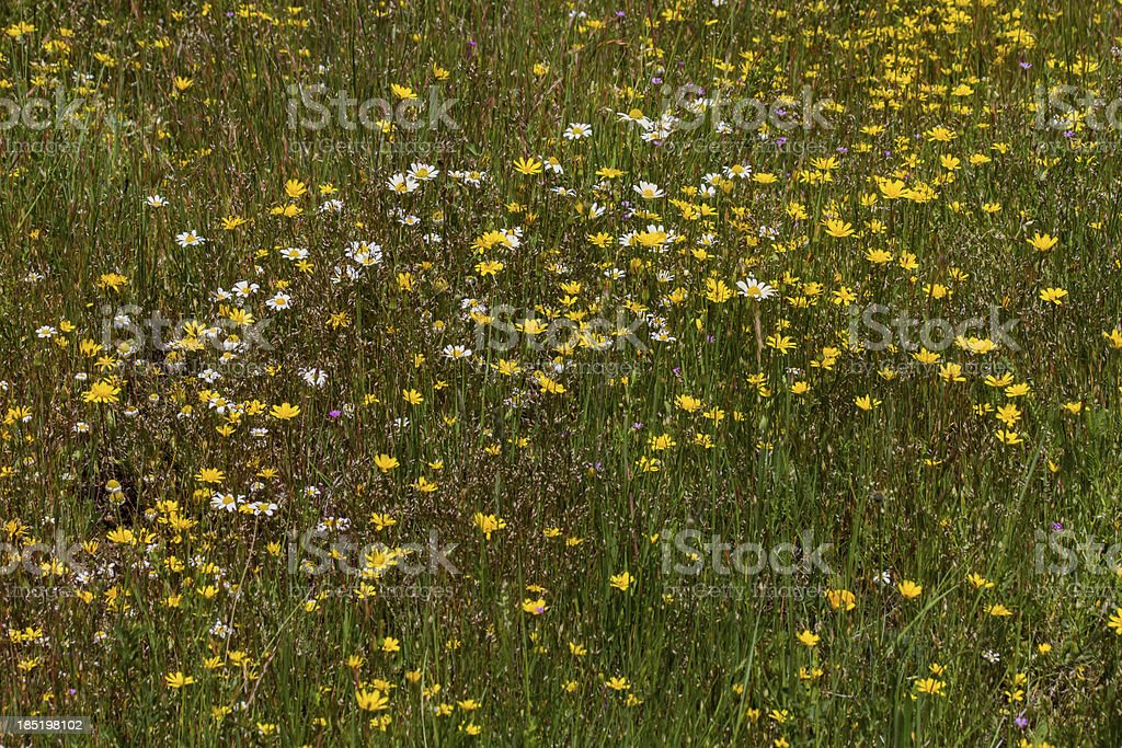Detail of flowers in the field -  Flores silvestres campo stock photo