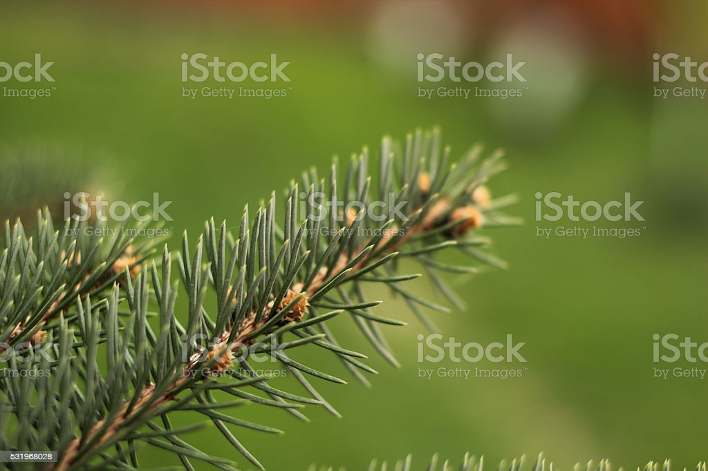 Detail of fresh spruce branch in forest royalty-free stock photo