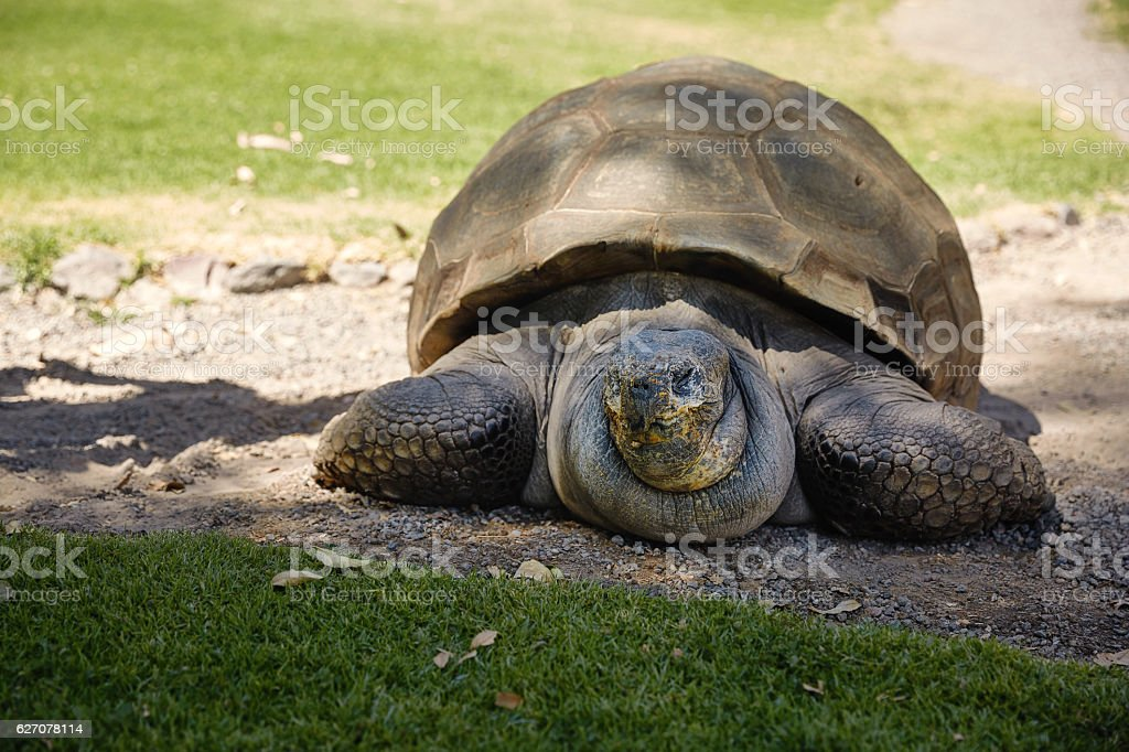 Detail of Giant Turtle in Arequipa, Peru stock photo