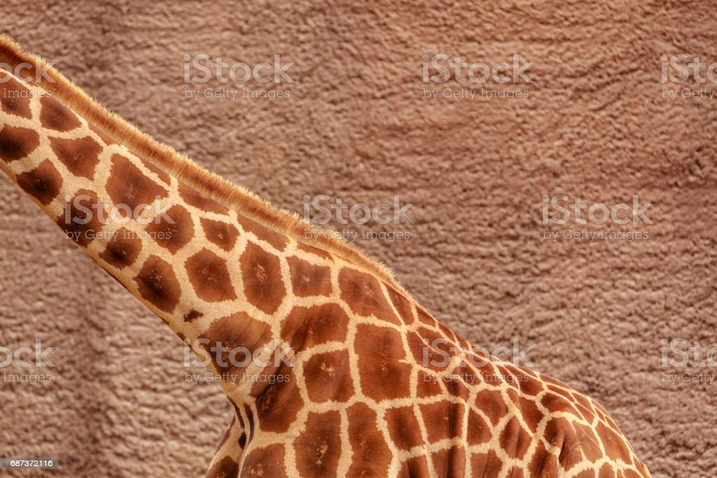 Detail of Giraffe stock photo