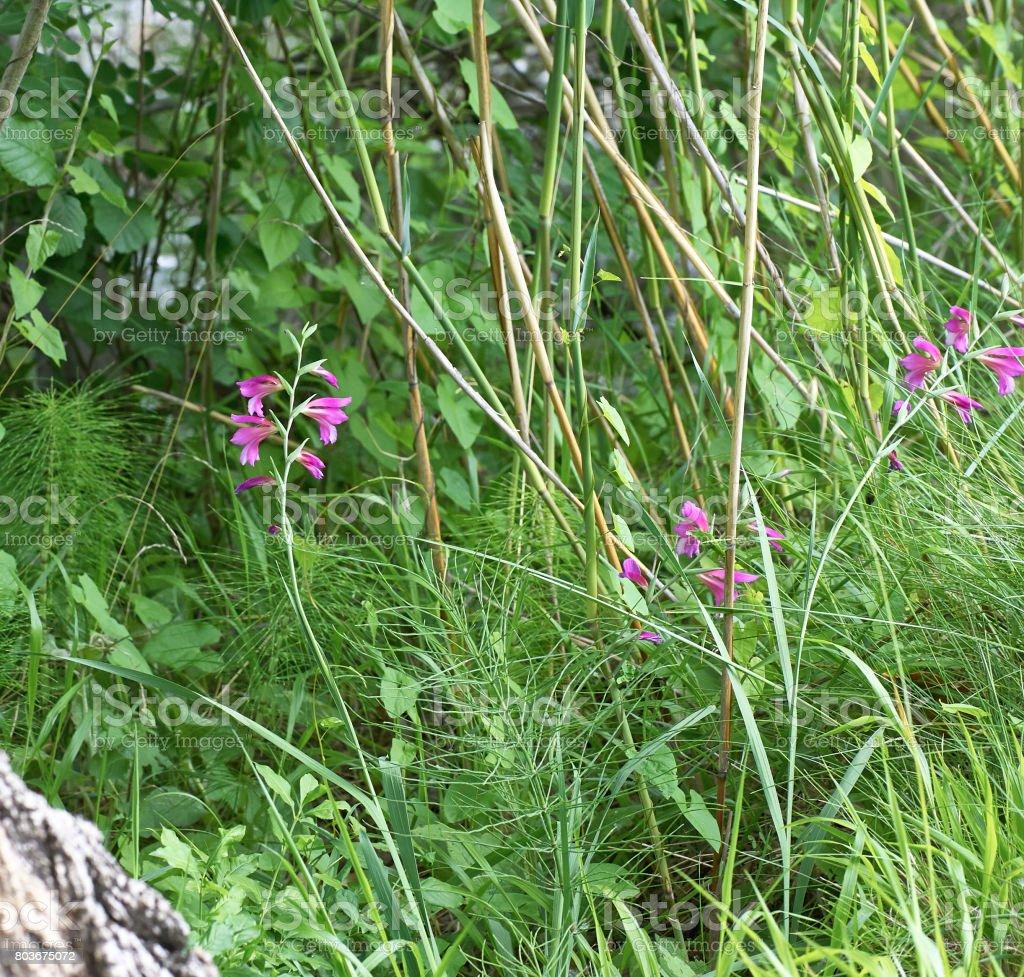 detail of Gladiolus palustris stock photo