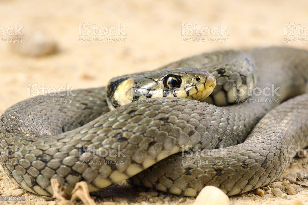 detail of grass snake stock photo