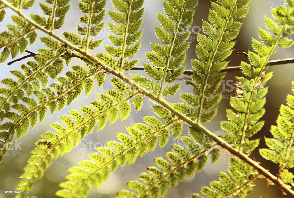 Detail of green ferns as a background royalty-free stock photo