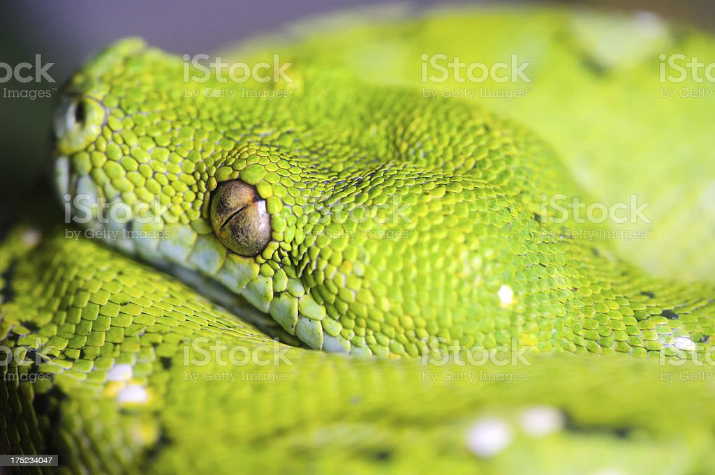 Detail of Green Snake royalty-free stock photo