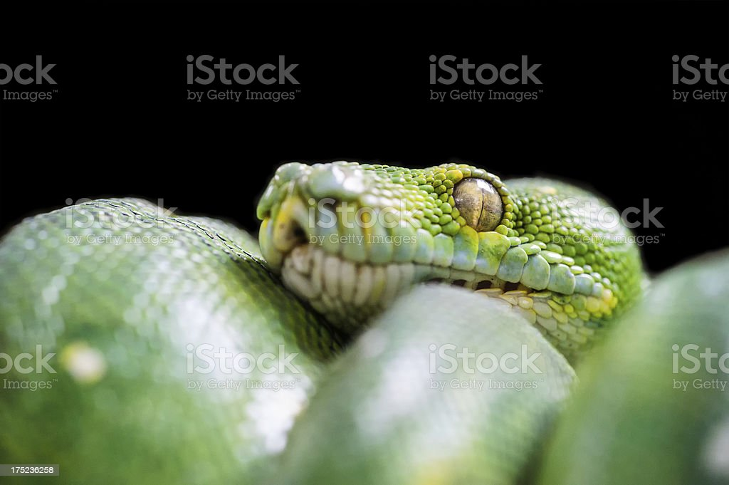 Detail of Green Snake stock photo