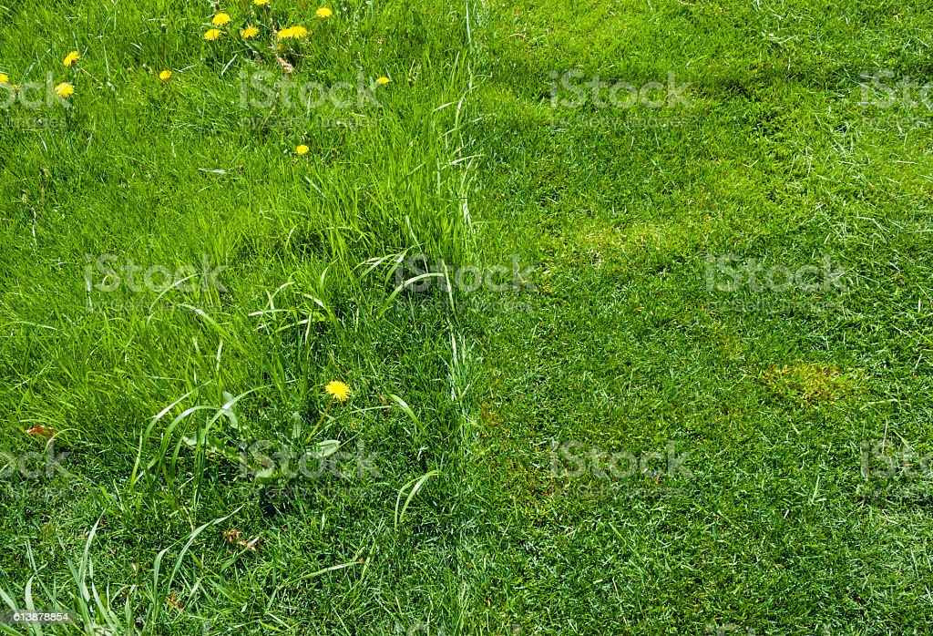 Detail of half of green grass mowed. stock photo