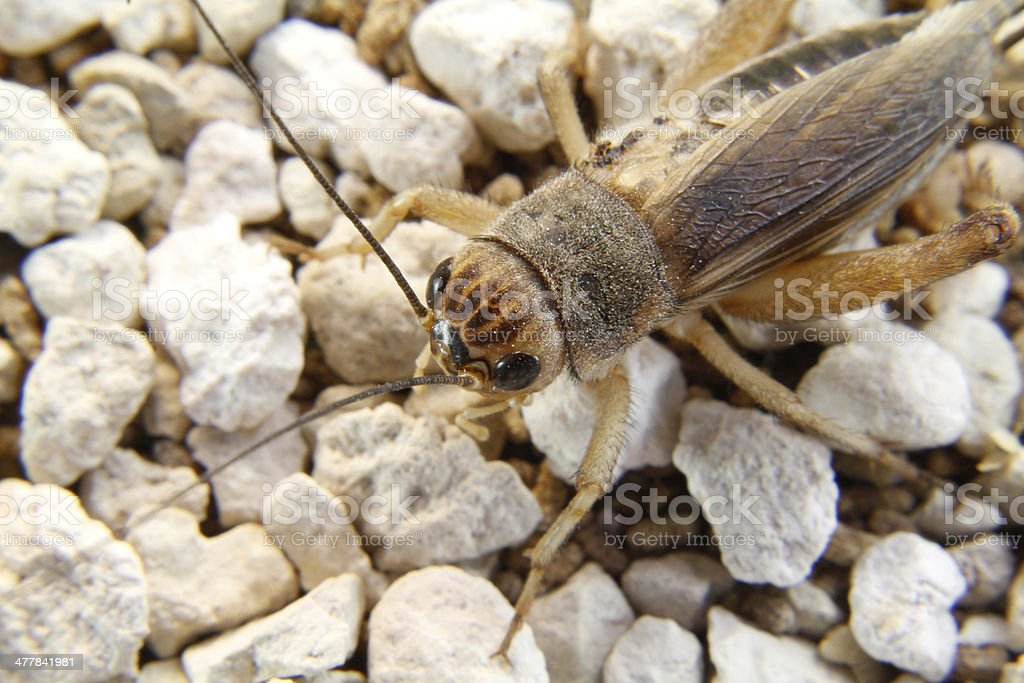 detail of head a cricket royalty-free stock photo