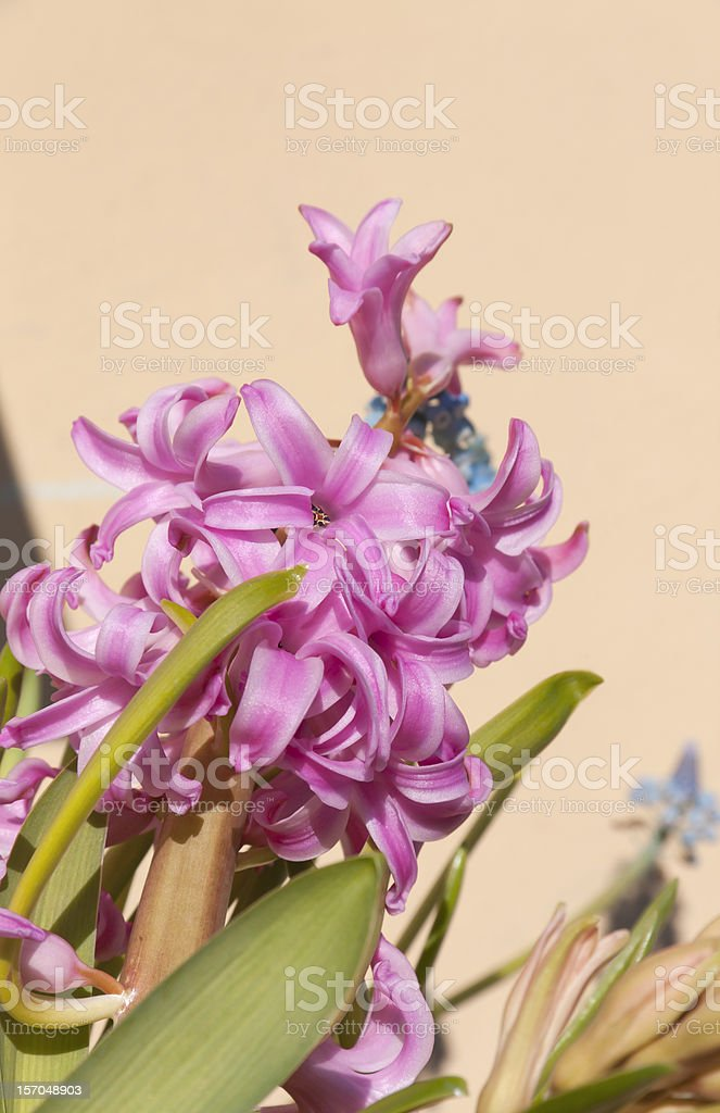Detail of Hyacinth stock photo