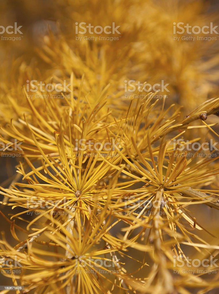 Detail of larch branch stock photo