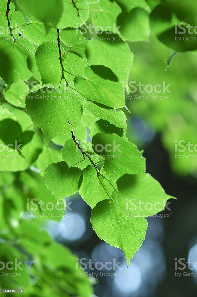 Detail of linden tree royalty-free stock photo