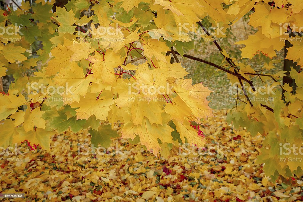 detail of maple tree in park royalty-free stock photo