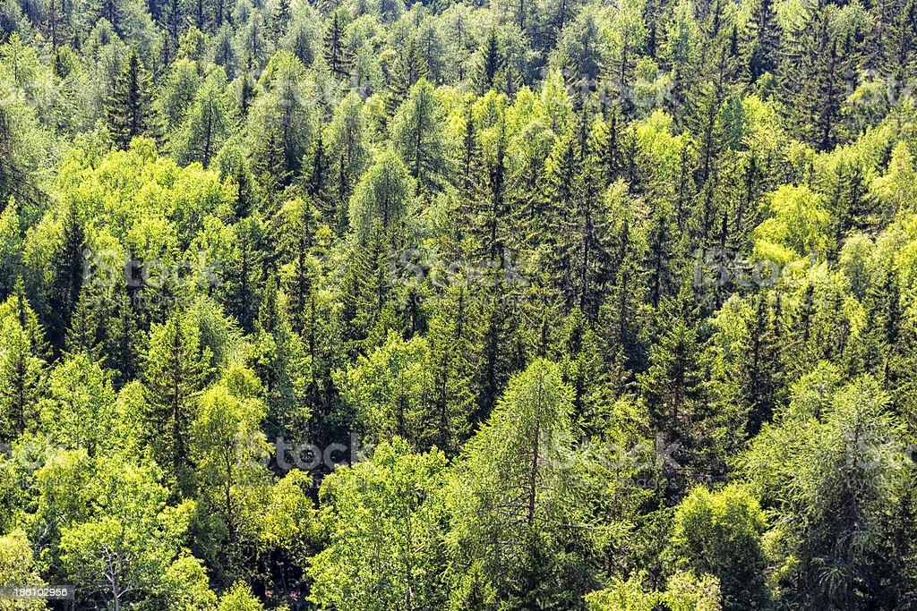 Detail of Mountain Trees royalty-free stock photo