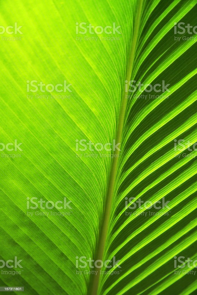 Detail of new green banana palm leaf royalty-free stock photo