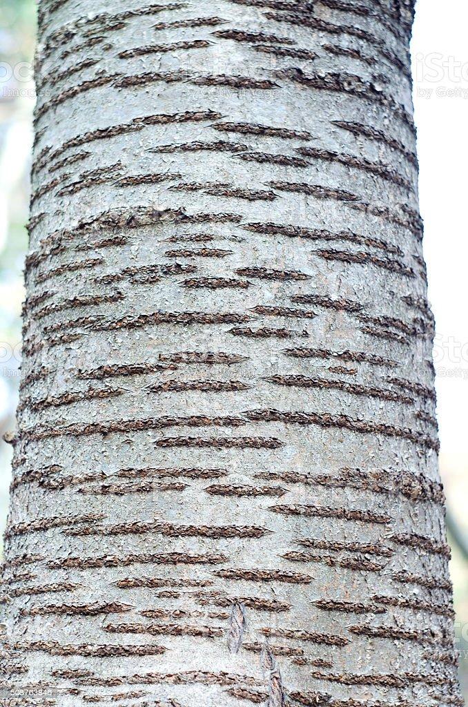 Detail of oak tree bark royalty-free stock photo
