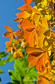 Detail of orange and yellow leaves against blue sky