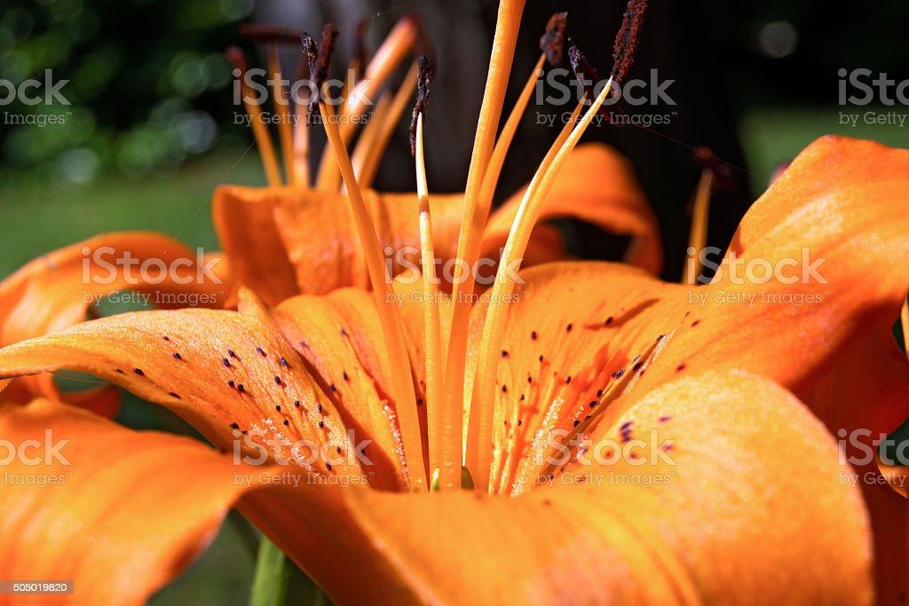 Detail of Orange Lily stock photo