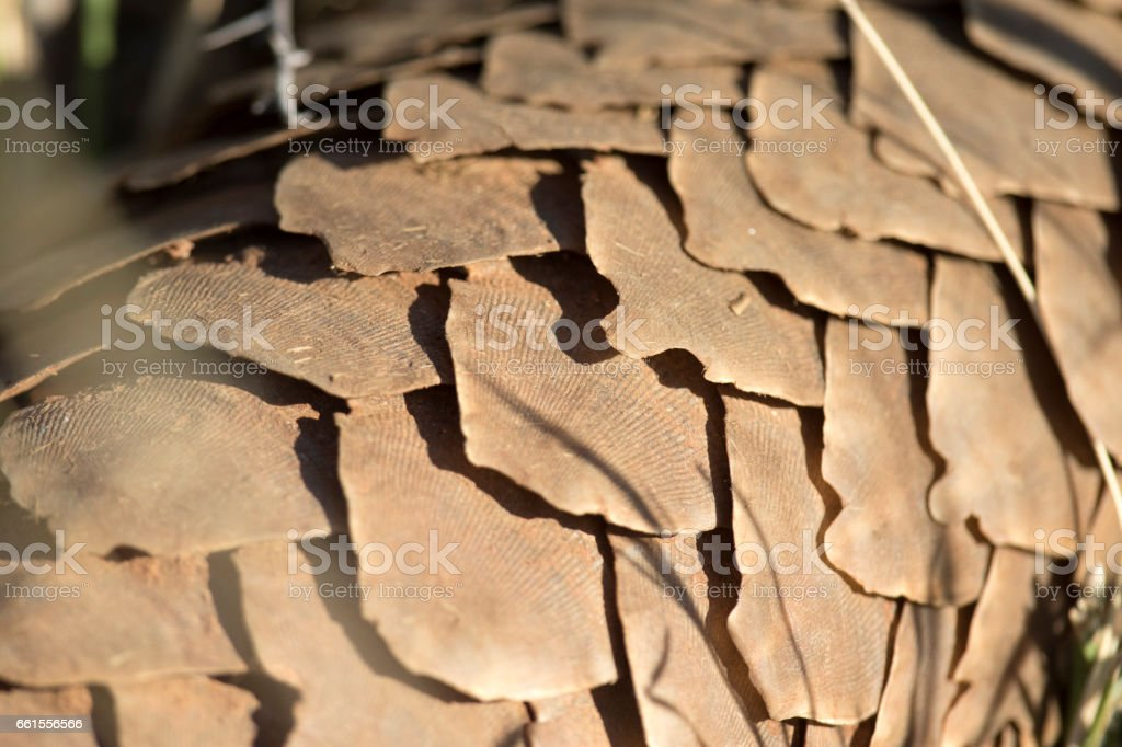Detail of Pangolin scales stock photo