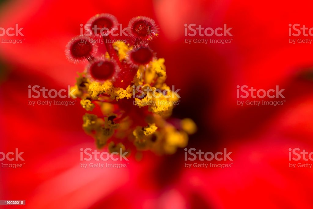 Detail of red hibiscus flower stock photo
