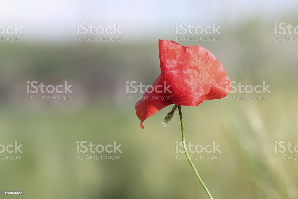 detail of red poppy royalty-free stock photo