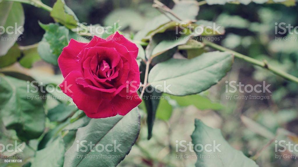 Detalle de rosas en flor roja foto de stock libre de derechos
