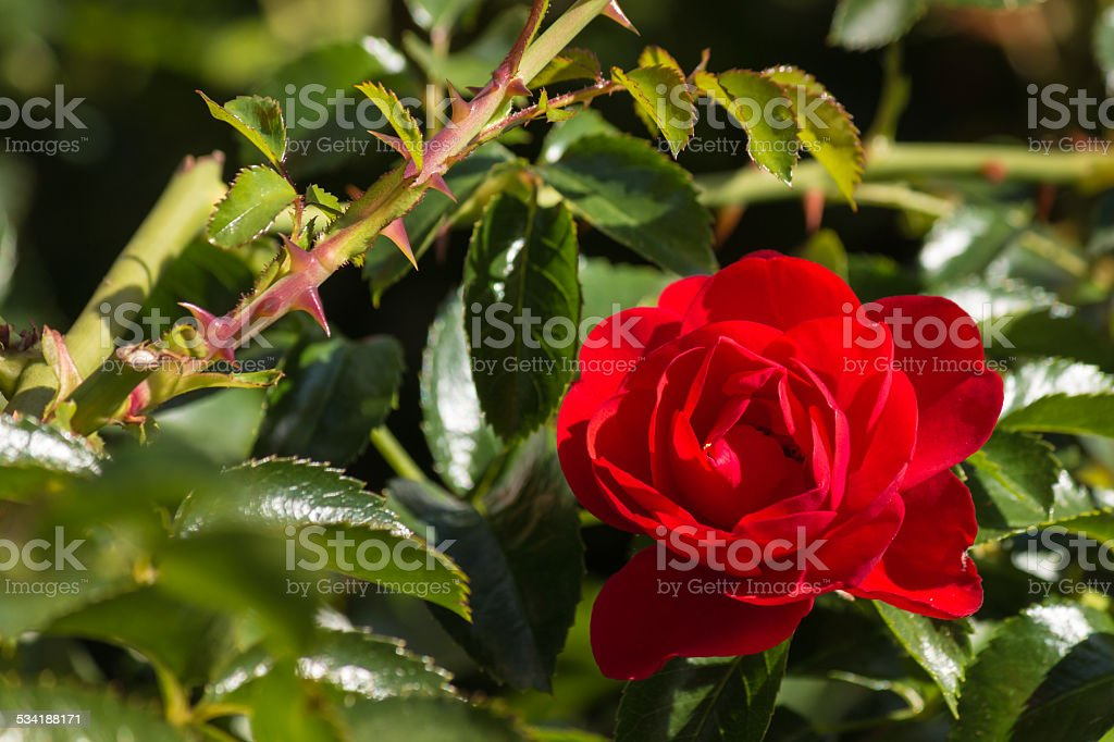 detail of red rose in bloom stock photo