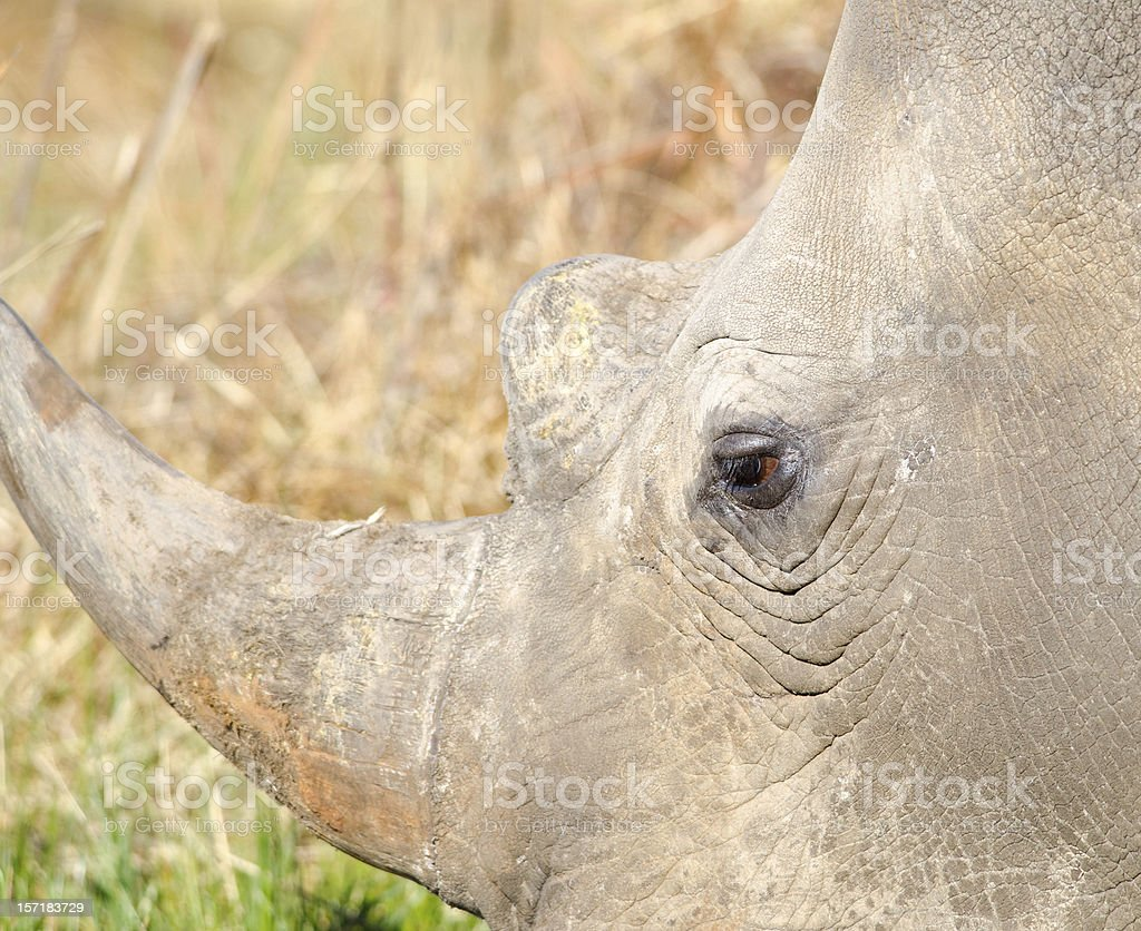Detail of Rhino horn and eye royalty-free stock photo