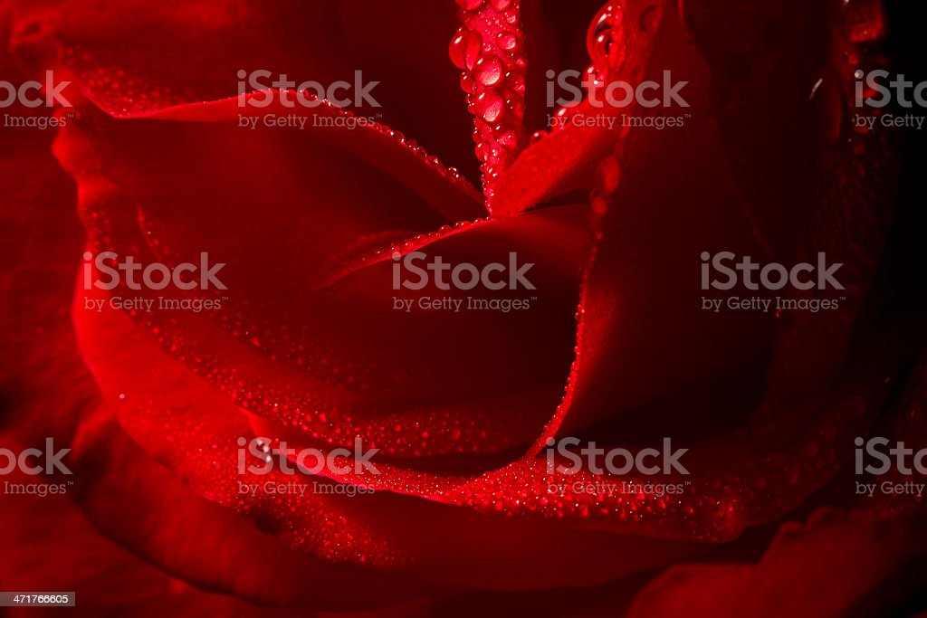 detail of rose flower with dew royalty-free stock photo