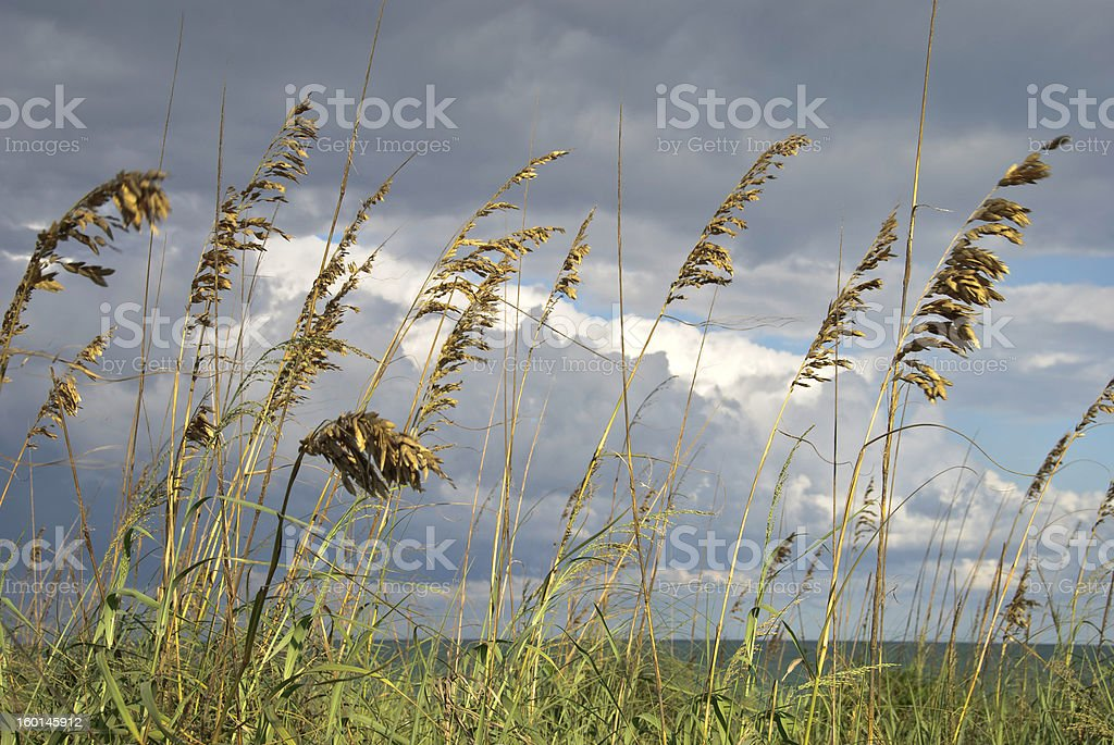 Detail of sea oats blown by wind with ocean background stock photo