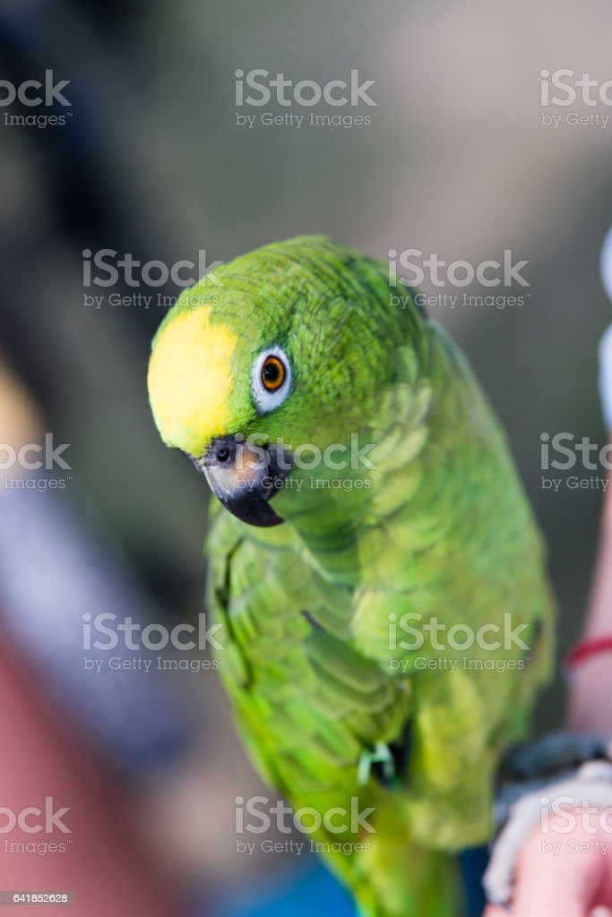 Detail of small green parrot head stock photo