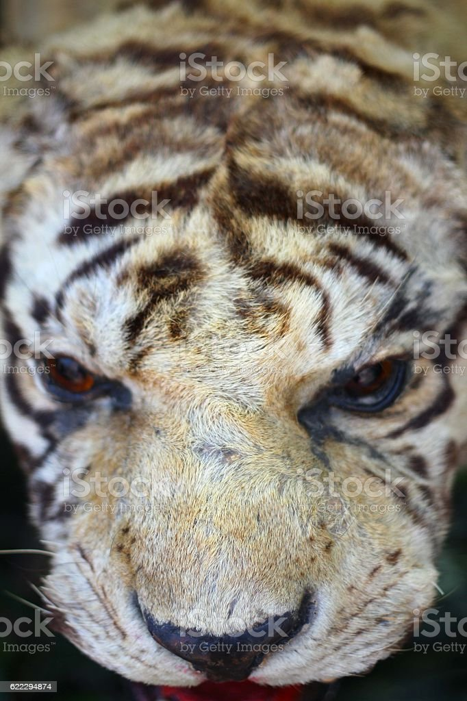 Detail of Stuffing Tiger stock photo