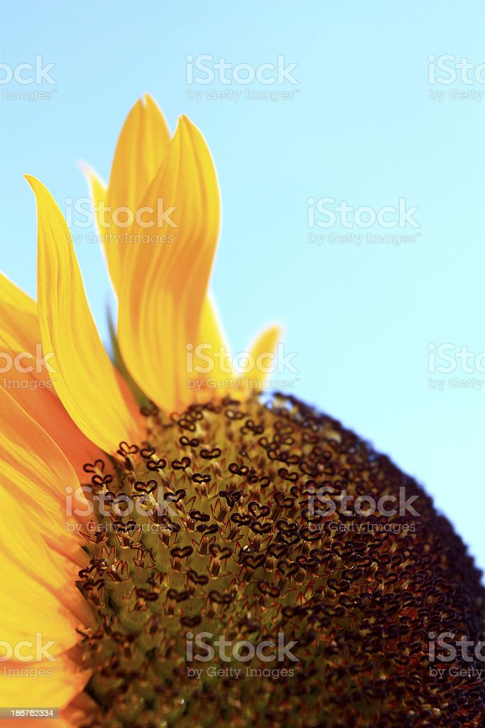 Detail of Sunflower royalty-free stock photo
