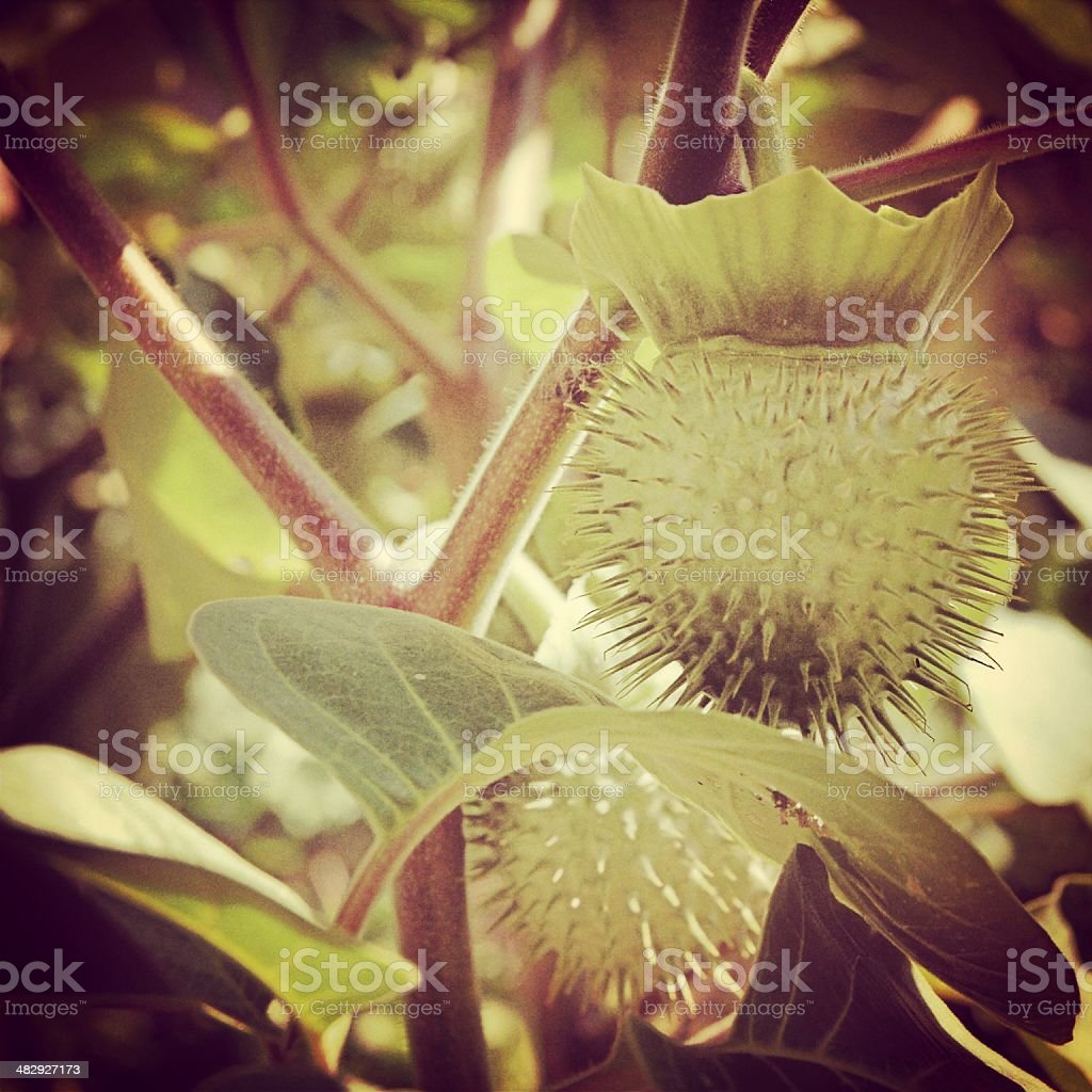 Detail of Sweet Gum Seed Pods stock photo