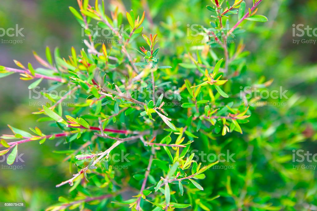 Detail of tea tree plant stock photo