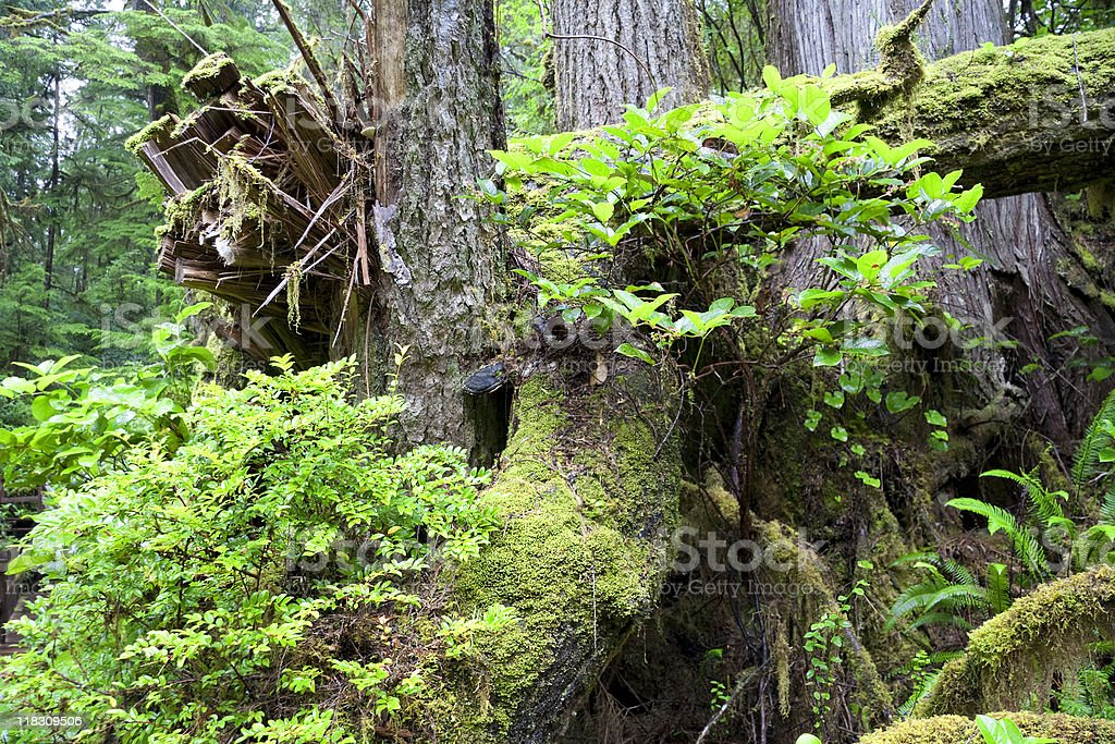 Detail of Temperate Rainforest on the Pacific Coast royalty-free stock photo