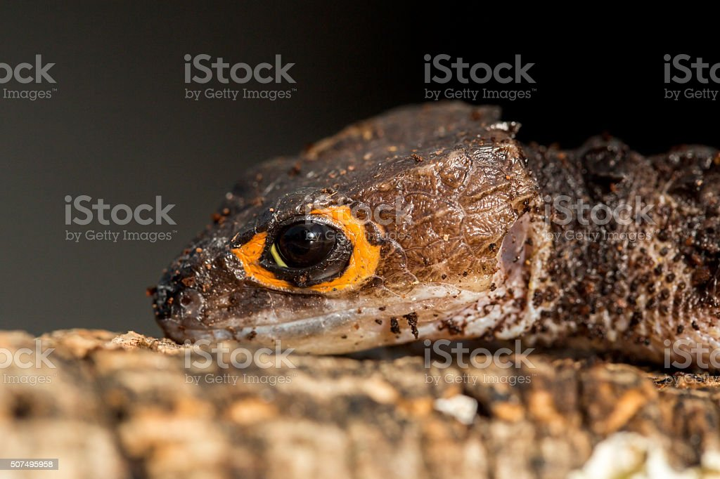 Detail of the head of a red eyed crocodile skink stock photo
