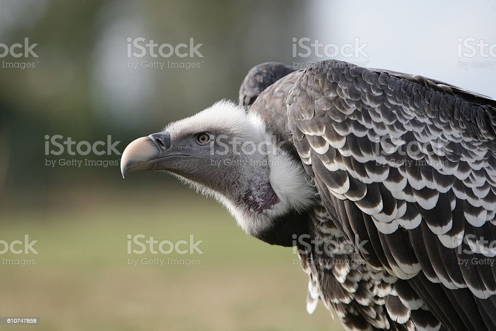 Detail of the head of a vulture stock photo