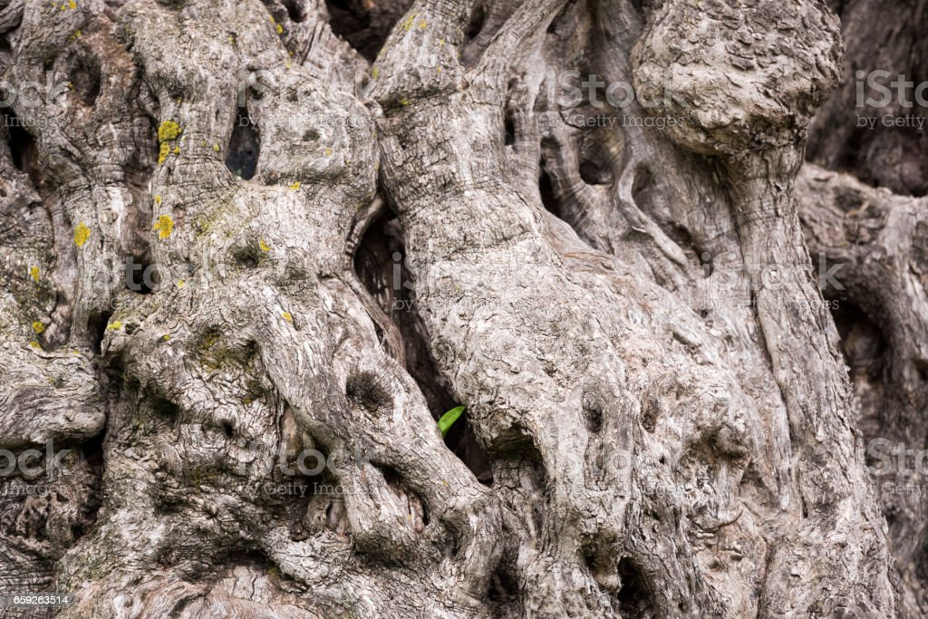 Detail of the trunk of an old olive tree stock photo