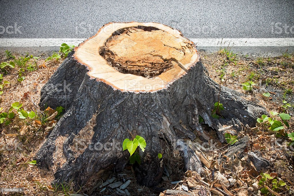Detail of tree stump from recently cut tree stock photo