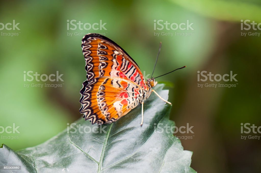 Detail of tropical orange butterfly (Cethosia hypsea) perching on a leaf stock photo
